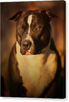 Proud Pit Bull Canvas Print by Larry Marshall. All canvas prints are professionally printed, assembled, and shipped within 3 - 4 business days and delivered ready-to-hang on your wall. Choose from multiple print sizes, border colors, and canvas materials. Dog List, Aggressive Dog, New Print, Pitbull Terrier, Stretched Canvas Prints, Pit Bull, Great Artists, Beautiful Images, Pitbull