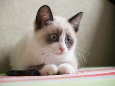 siamese snowshoe cats