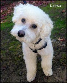Bichon / Poodle Male named Dexter
