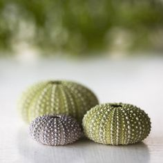 Green Sea Urchins