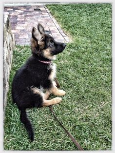 German Shepherd puppy - so precious!