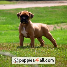 Are you currently looking for boxer puppies for sale? Visit us now and find more about the magnificent boxer! Boxer Puppies For Sale, Boxer Dogs, Boxers, New Puppy, Dog Care, Your Best Friend, Dog Breeds, Adoption, Pets