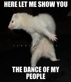 Celebrating Ferret Day With Extremely Funny Memes - World's largest collection of cat memes and other animals Ferrets Care, Funny Ferrets, Funny Cats, Funny Animals, Cute Animals, Baby Ferrets, Extremely Funny Memes, Dancing Animals, Pet Ferret