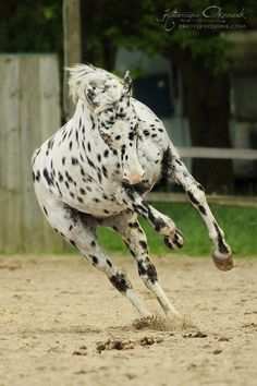 Beautiful horse running. Leopard spotted Appaloosa. Spots all the way down his legs.
