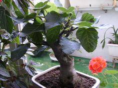 ficus ginseng curvo ficus bonsai and plants. Black Bedroom Furniture Sets. Home Design Ideas