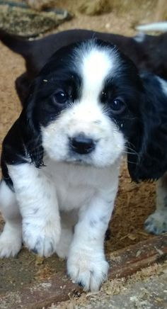 adorable english springer spaniel puppy