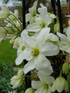 Clematis armandii - the evergreen Clematis; this and some other types can handle shade. Clematis For Shade, Partial Shade Perennials, Flowering Shade Plants, White Clematis, Flowering Vines, Flowers Perennials, Planting Flowers, Climbing Shade Plants, Climbing Roses