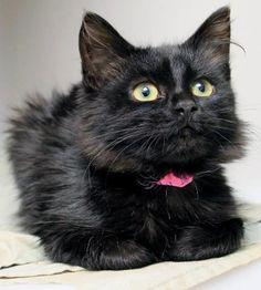 <3 cute little black fluffy kitten.