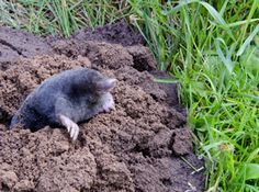 And animal removal on pinterest mole how to get rid and castor oil