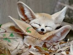 Cutest  Fennec it's a type of fox  A very cute fox