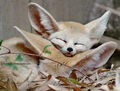 Cutest  Fennec it's a type of fox  A very cute fox