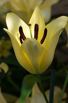 Cream Lily Flower