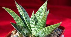 Aloe | Paradis Verde Aloe Vera, Plant