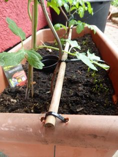 Tomaten-Pflanzen im Topf befestigen