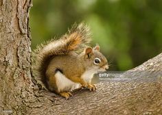 Small red-tailed squirrel that usually lives in pine trees. Also known as tree…
