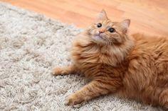Removing Pet Urine Smells | Stretcher.com - How to get cat urine odor out of carpet