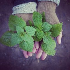 Join us this month at our free skills series and learn about how to use Stinging Nettle for food and medicine, and how to harvest it in a regenerative way. Check out our website for details. www.rewildportland.com #stingingnettle #nettle #ediblewildplants #rewild #rewilding #portland #pdx