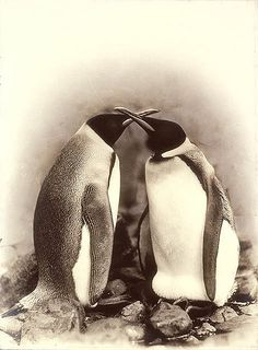 King penguins, Antarctica, 1911-1914. Photo by Frank Hurley.    Format: Photograph