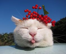 The comments and such were written in Chinese or Japanese so I have no idea of who this cat is, but he sure is cute :)