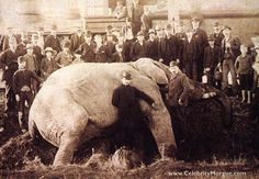 P.T. Barnum's prize elephant Jumbo was killed September 15, 1885, crossing railroad tracks in St. Thomas, Ontario. The collision derailed the train, and 150 people were required to haul the elephant's body up an embankment.    Jumbo's death was a great loss to Barnum's show, but the loss was somewhat mitigated when both the taxidermied hide of the beast and its skeleton were exhibited together.    Vital statistics: height 11.5 feet, weight 6.5 tons, age 24