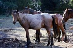 Cinnamon is an adoptable Mustang Horse in Roseburg, OR. Born April, 2009, to one of our Virginia Range mustang mares, Cinnamon will be a tiny girl when full grown - about 14 hands. She is unhandled at...
