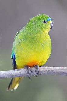 Orange-Bellied Parrrot   a critically endangered species