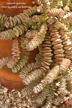 Stacked crassula