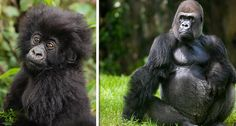 Gorillas | Community Post: 15 Animals Who Wish They Were Still This Cute