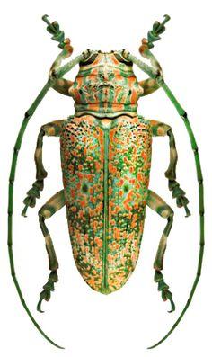 Pterochaos irroratus