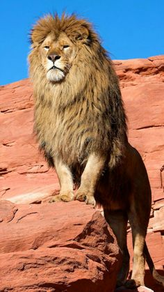 Lion king of the jungle Nature Animals, Animals And Pets, Cute Animals, Wildlife Nature, Wild Animals, Baby Animals, Lion Pictures, Animal Pictures, Beautiful Cats