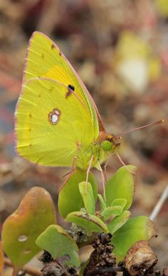 Colias Crocea by Javi Bonilla, via Flickr