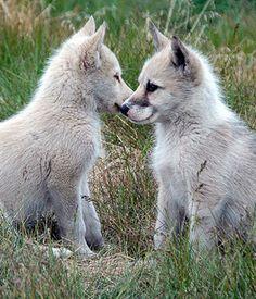Greenland Dog puppy