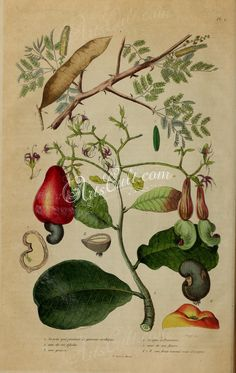 flora_and_fauna-00001 image  botanical floral botany natural naturalist nature beautiful nice flora plants blooming ArtsCult.com Artscult ArtsCult vintage printable public domain 300 dpi commercial use 1800s 1700s 1900s Victorian Edwardian art clipart royalty free digital download picture collection pack paintings scan high qulity illustration old books pages supplies collage wall decoration ornaments Graphic engravings lithographs cen