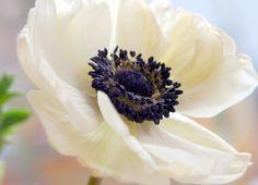 anemone  free