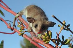 Photo: Amanda McLean Did you know that there are 23 possum species known in Australia? Meet the western-Pygmy possum! These cute little guys are suuuuuper tiny with their bodies only growing up to …