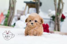 Want to show Her/Him how much you Love them ?  Add ⭐️Carleton⭐️ as a new member of the family this Christmas  .  What a handsome and outstanding teacup male Poodle he is. Playful and affectionate he is simply a sweetheart. Wearing a cream color rich & silky coat he is an overload of cuteness!! Handpicked and from an excellent purebred lineage. We take great pride in the quality , rarity and the health of our puppies. They all come pre-spoiled with a 1 Year Health Guarantee, Full Health Ce...