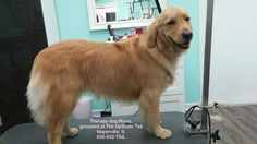 Therapy dog Rosie groomed at The UpScale Tail, Naperville, IL