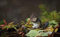 Chipmunk by Irene on 500px