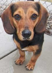 #031 is an adoptable Dachshund Dog in Charleston, IL.  ...