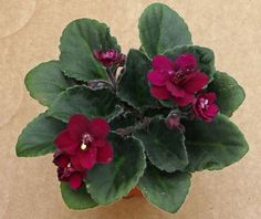 african violet Jolly Fire semi-miniature