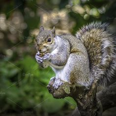 A Squirrel Portrait Photos A Squirrel Portrait sitting on a log eating. by Shoey Photography