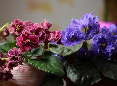 Фиалки (сенполии), пожалуй, известны каждому цветоводу, ведь нежные и миниатюрные цветочки способны очаровать любого. Многие считают, что уход за фиалкой в домашних условиях слишком труден, растение к...