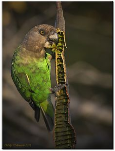 The Brown-headed Parrot - Poicephalus cryptoxanthus, is a South-east African parrot. Photo by Wally Collemache.