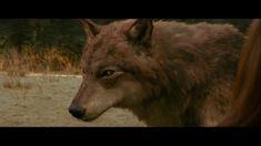 breaking dawn jacob wolf   Werewolf Jacob Eclipse
