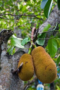 Jackfruit tree with fruit - Bali ¦ by pilago Fruit And Veg, Fruits And Vegetables, Jackfruit Tree, Indonesian Cuisine, Tropical Fruits, Korn, Ubud, Fruit Trees, Detox