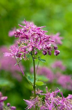1000 images about thalictrum on pinterest mists for Thalictrum rochebrunianum rhs