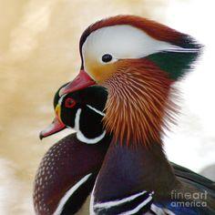 Mandarin duck & Wood duck
