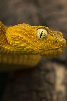 Bush Viper (Tiberiu Sahlean)
