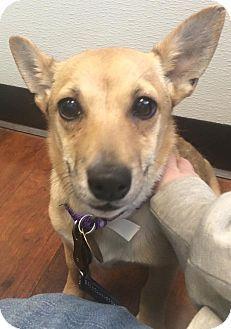 ●6•23•16 SL●Oak Ridge, NJ - Corgi/Pomeranian Mix. Meet Ursa, a puppy for adoption. http://www.adoptapet.com/pet/14994044-oak-ridge-new-jersey-corgi-mix