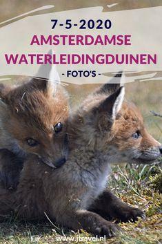 Ik maakte een wandeling in de Amsterdamse Waterleidingduinen. Dit keer zag ik een paar kikkers, een viervleklibelle, damherten, een vos met vijf jongen en zandhagedissen. Mijn foto's zie je hier. Kijk je mee? #awd #kikker #vossenwelpen #libelle #zandhagedis #vos #damhert #wandelen #hiken #natuur #jtravel #jtravelblog #fotos